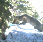 Sierra Nevada Red Fox Photo from Mt Hood